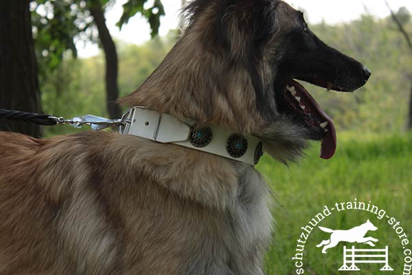 White Tervuren collar at affordable price