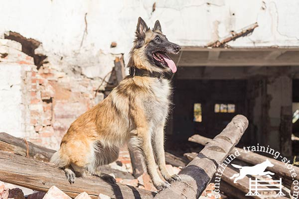 Strong Tervuren collar for noble dogs